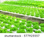 planting vegetable garden green ... | Shutterstock . vector #577925557