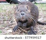 beaver   Shutterstock . vector #577959517