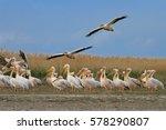white pelicans  pelecanus... | Shutterstock . vector #578290807