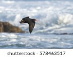 Small photo of An African oystercatcher flying over foamy ocean