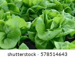 close up of clumps of lettuce...   Shutterstock . vector #578514643
