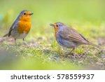 couple european red robin ... | Shutterstock . vector #578559937