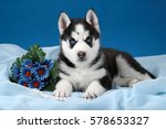 Cute Puppy Husky With Flowers...