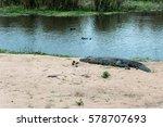 Crocodile On The Banks Of A...
