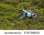 Small photo of Poison Dart Frog (Dendrobatidae group) - Costa Rica