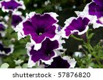 Purple White Petunia