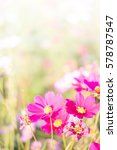 pink cosmos | Shutterstock . vector #578787547