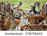Herd Of Deers