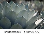Small photo of Succulent plant (agave parryi var huachucensis)