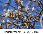 Magnolia Winter Buds