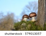 Small photo of Two brown champignons mushrooms (Agaricaceae) on green Moss before blue sky, on the right with trunk