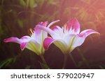 Lily Flower. Spring Solar...