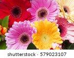 bright multicolored gerberas.... | Shutterstock . vector #579023107