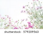 cosmos flower field  natural... | Shutterstock . vector #579209563
