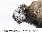 Bull Bison  Bison Bison  With...