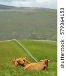 Couple Of Scottish Highland Cows