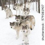 Small photo of Timber wolves (Canis lupus), timber wolf pack standing against a white snowy background in Canada