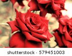 Stock photo red roses growing in nature vintage retro hipster image 579451003