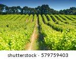 aerial scene of vineyard in...   Shutterstock . vector #579759403