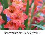 Gladiolus   Sword Lily Orange...