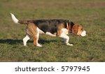 a beautiful beagle hound dog... | Shutterstock . vector #5797945