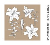 set of hand drawn white lily... | Shutterstock .eps vector #579813823