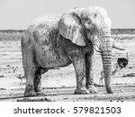 old huge african elephant... | Shutterstock . vector #579821503