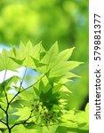 leaves of fresh green. leaves... | Shutterstock . vector #579881377