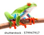 Red Eyed Tree Frog From The...