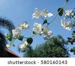 White Nerium Oleander Blossoms...