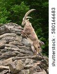 Small photo of Alpine Ibex on attack on a mountain rock. Interlaken, Switzerland.