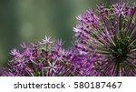 Small photo of Allium odorum flower
