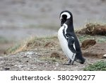a penguin preening itself. | Shutterstock . vector #580290277