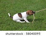 Stock photo jack russel terrier tugging on a rope 58040095