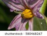Eggplant Flower Macro Photo