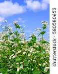 Field Of Buckwheat. Insect...
