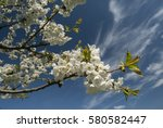 branches with cherry blosson... | Shutterstock . vector #580582447