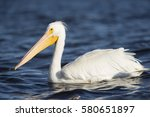 A Large American White Pelican...