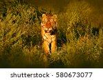 Siberian Tiger In Beautiful...
