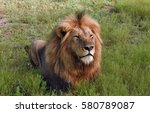 Male Lion Laying In The...