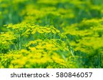 Yellow Flower Of Green Dill ...