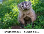 badger in yellowstone national... | Shutterstock . vector #580855513