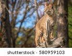 Bobcat  Lynx Rufus  Stands Up...