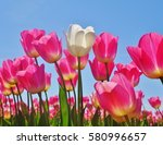 lone white tulip stands out in... | Shutterstock . vector #580996657