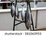 Small photo of The skipjack tuna, Katsuwonus pelamis, is a medium-sized perciform fish in the tuna family, Scombridae. AKA aku, arctic bonito, mushmouth, oceanic bonito, striped tuna, or victor fish.