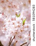 cherry blossoms blooming in... | Shutterstock . vector #581094283