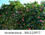 Camellia Japonica Tree  Tsubak...