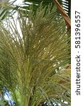 Small photo of flowers of Christmas Palm (adonidia merrillii)