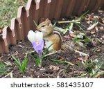 Chipmunk In The Flower Garden...