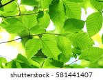 leaves of fresh green. leaves... | Shutterstock . vector #581441407
